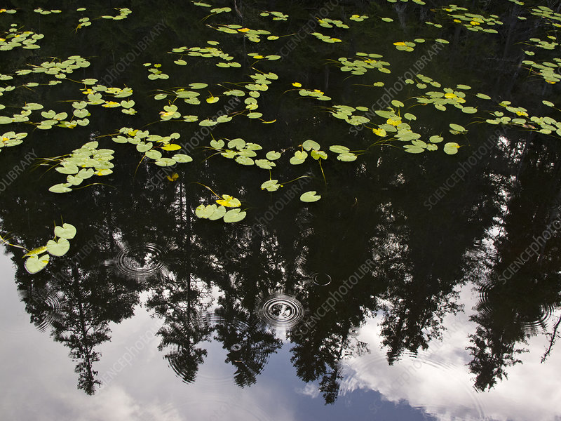 Lily pads (Nymphaceae)