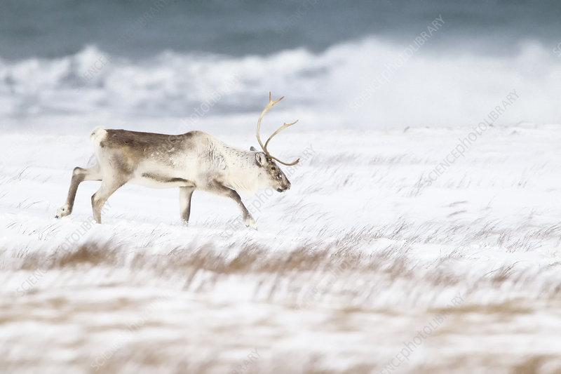 Reindeer male walking across beach in winter, Iceland