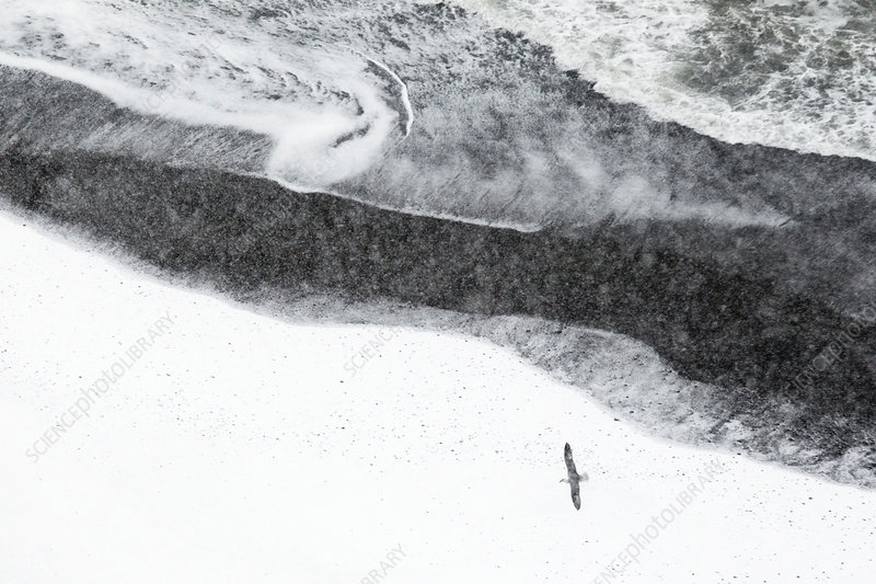 Fulmar above snowy lava beach near Djupivogur, Iceland