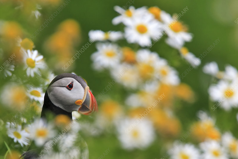Atlantic puffin in field of daisies, Heimeay, Iceland