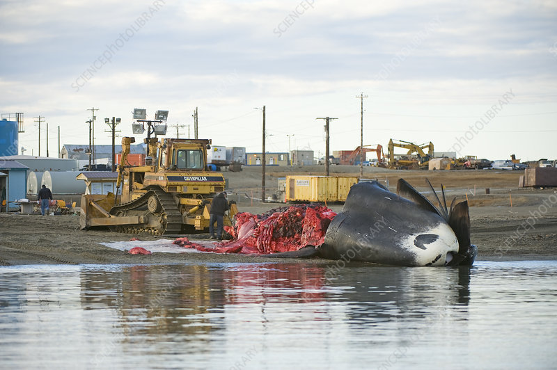 Inupiaq subsistence whalers butcher a Bowhead Whale catch