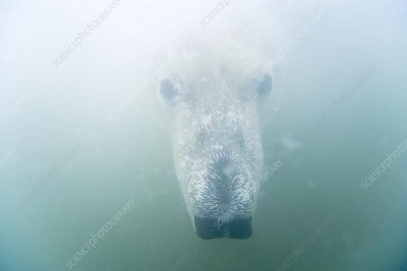 Polar bear head underwater