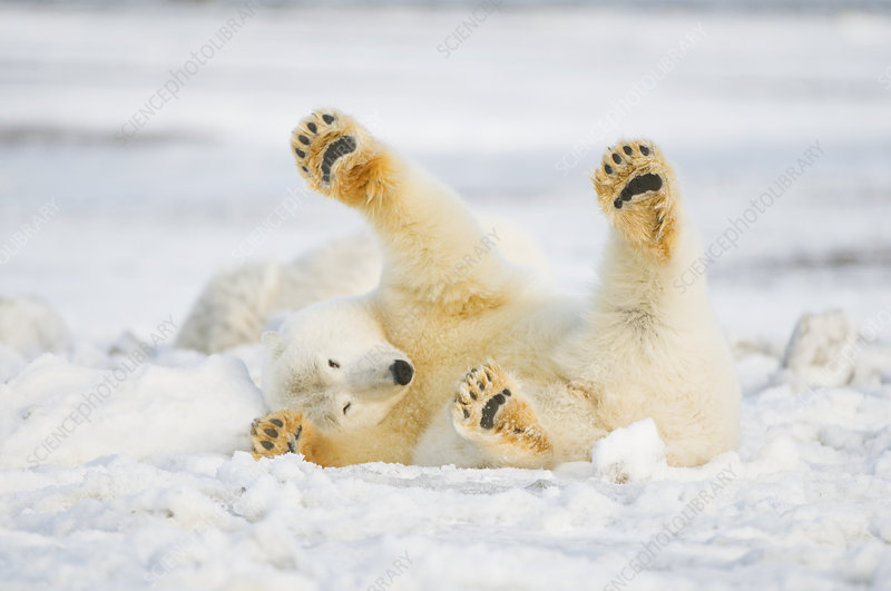 Polar bear juvenile rolling around on newly formed pack ice