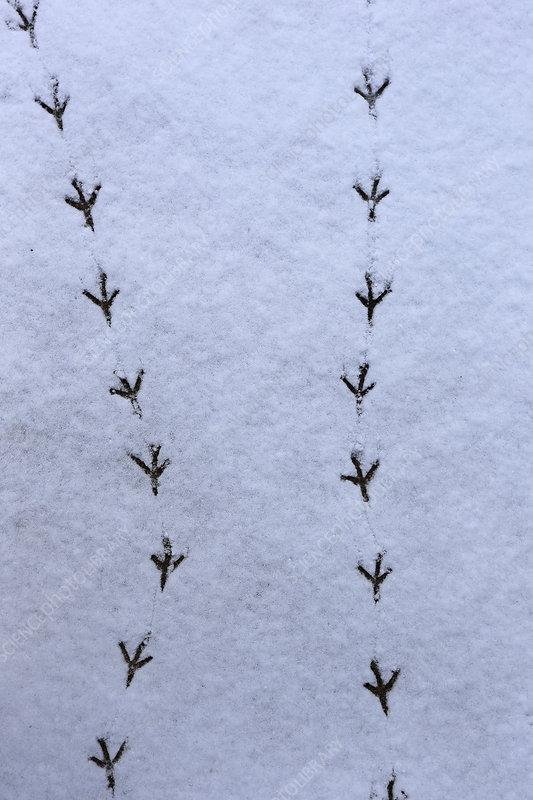 Wood Pigeon tracks in snow