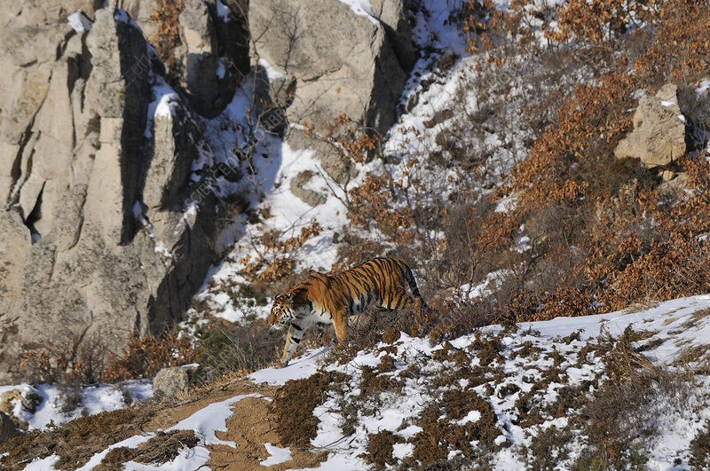 Siberian Tiger female in the wild
