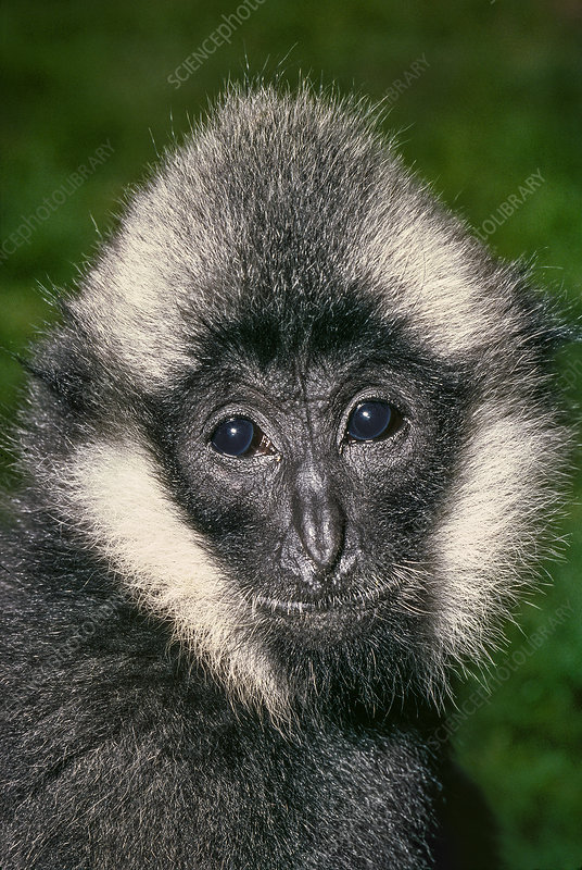Young male Northern White-cheeked Crested Gibbon