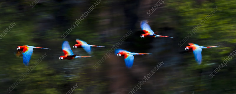 Group of Red-and-Green Macaws in flight