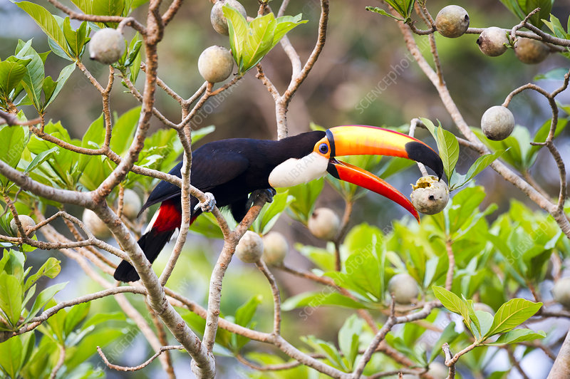 Toco Toucan feeding on fruit in forest canopy