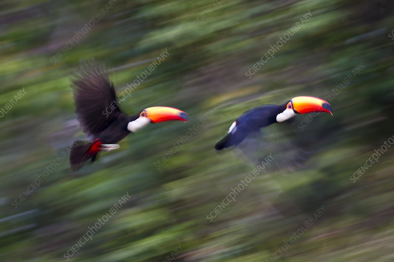 Toco Toucans taking flight from the forest canopy