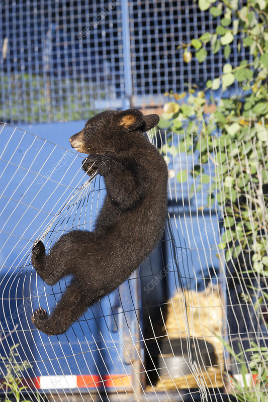 Black bear cub climbing a fence, Minnesota, USA