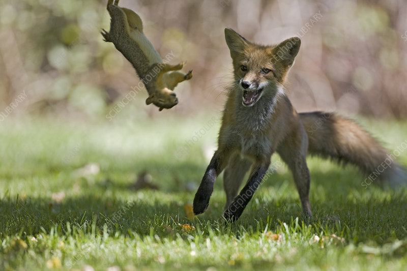 Red fox playing with a dead squirrel