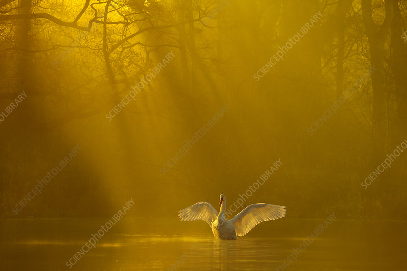 Mute swan stretching its wings