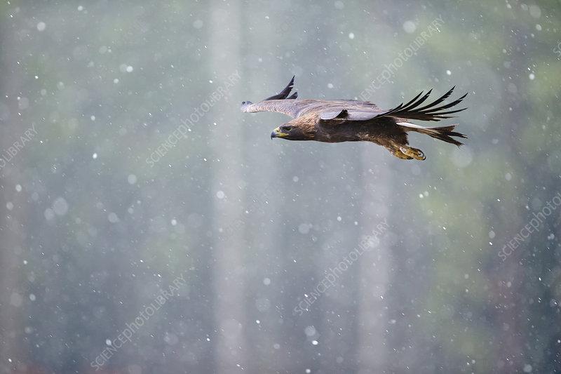 Golden eagle in flight through heavy snow, Czech Republic
