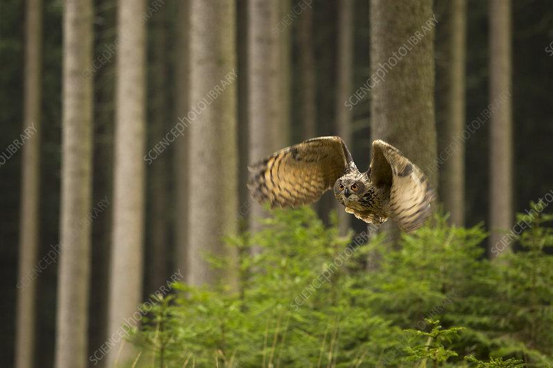 Eurasian Eagle owl in flight through dense forest