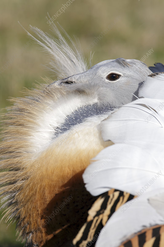 Great Bustard adult male with breeding plumage
