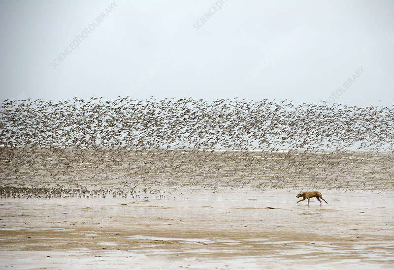 Dog chasing and disturbing a flock of Knot on a beach