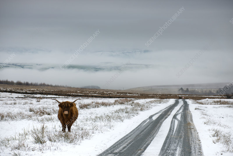 Highland cow next to road