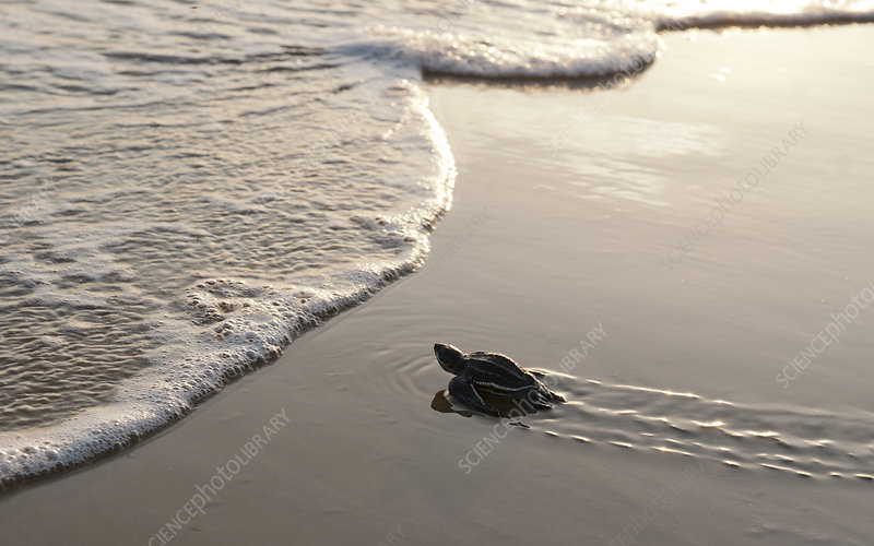 A hatchling Leatherback Turtle nearing the waters edge