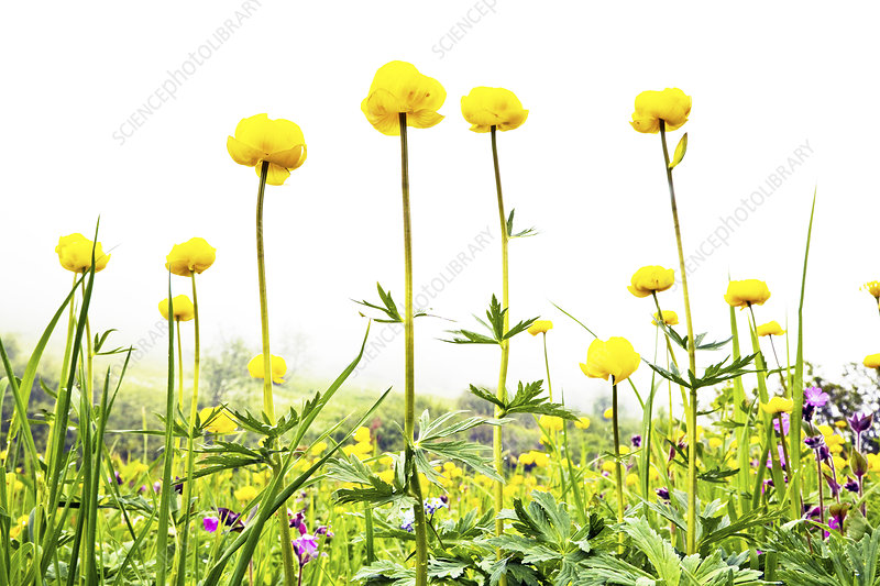 Globeflowers (Trollius)