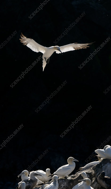 Gannet adult coming in to land