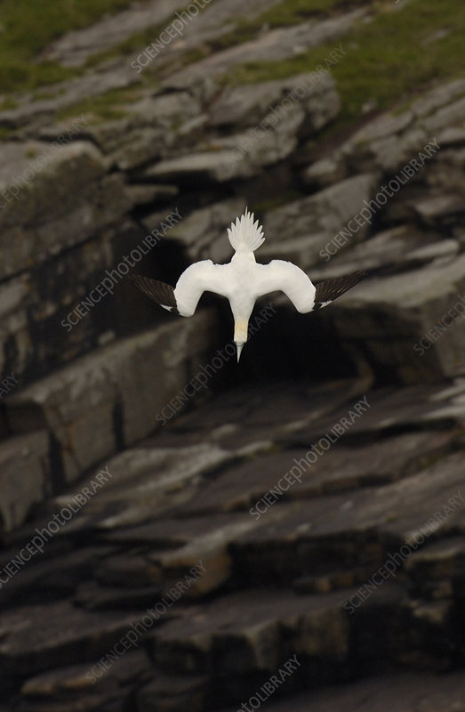 Gannet adult diving,