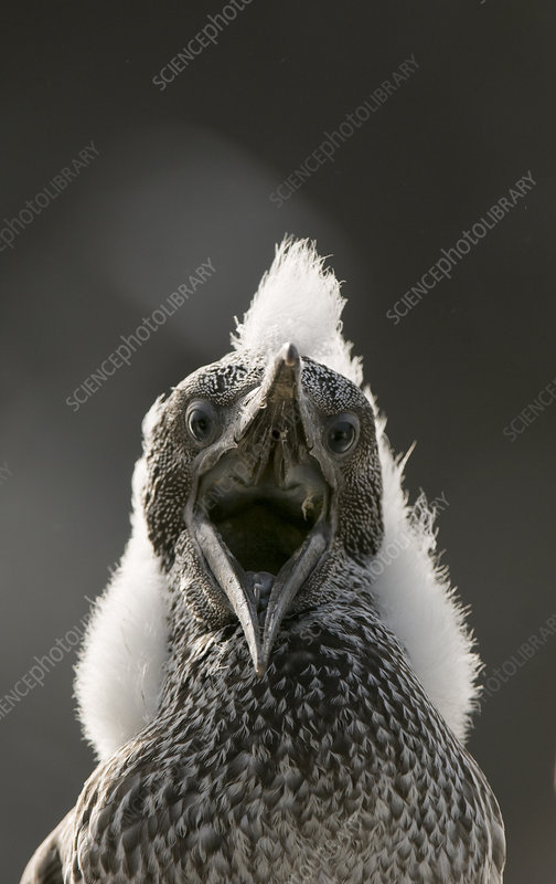 Gannet chick with mouth open