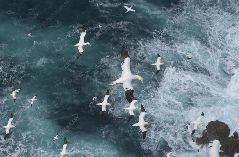 Northern gannets in flight in Force 8 gales