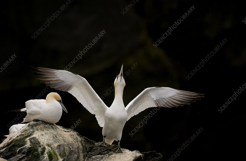 Gannet adult stretching its wings