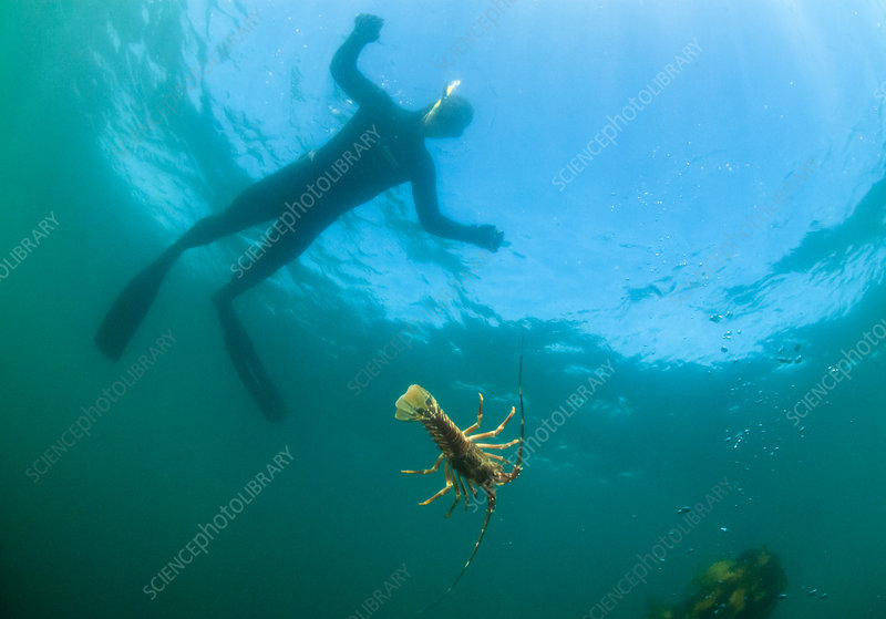 West Coast Rock Lobster watched by diver