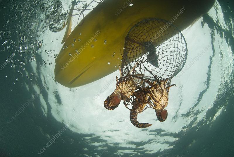 A hoop net with West coast rock lobster