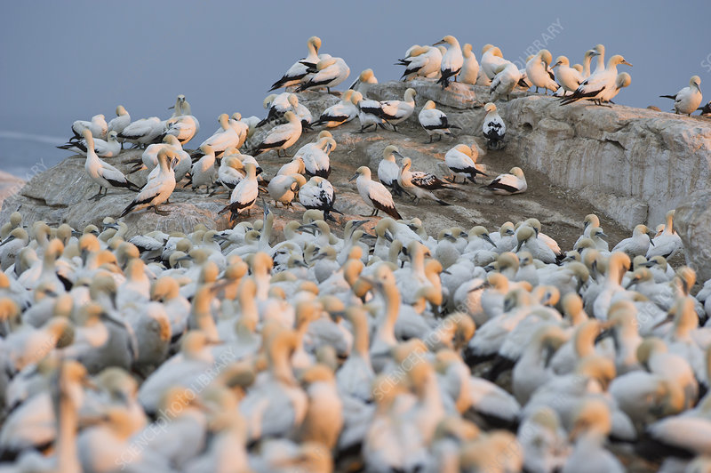 Cape gannet colony, Bird Island Nature Reserve, South Africa