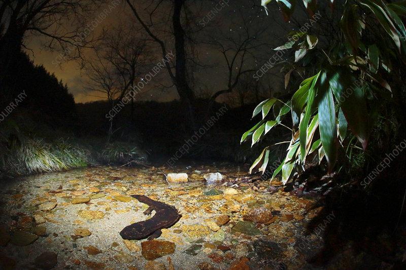 Japanese giant salamander hunting at night