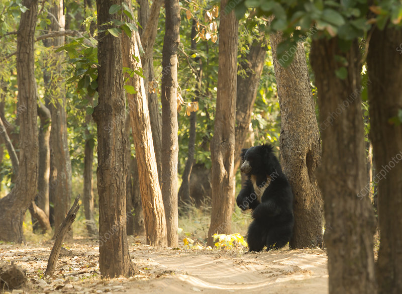 Adult Sloth Bear scratching its back against a tree