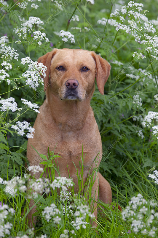 Yellow Labrador in wild flowers