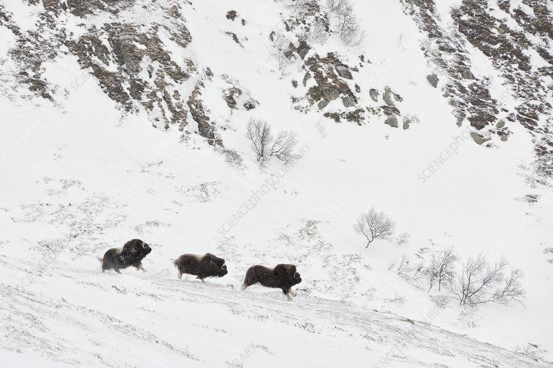 Muskox herd, Norway