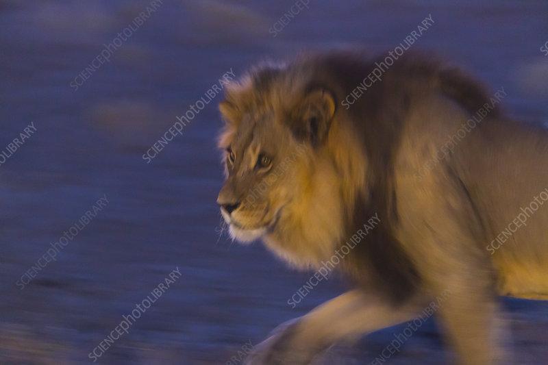 Male African lion at night, Kalahari Desert, Botswana