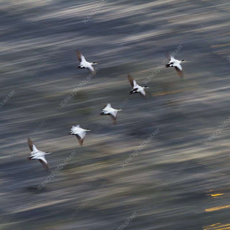 Group of male Common eiders in flight, Iceland