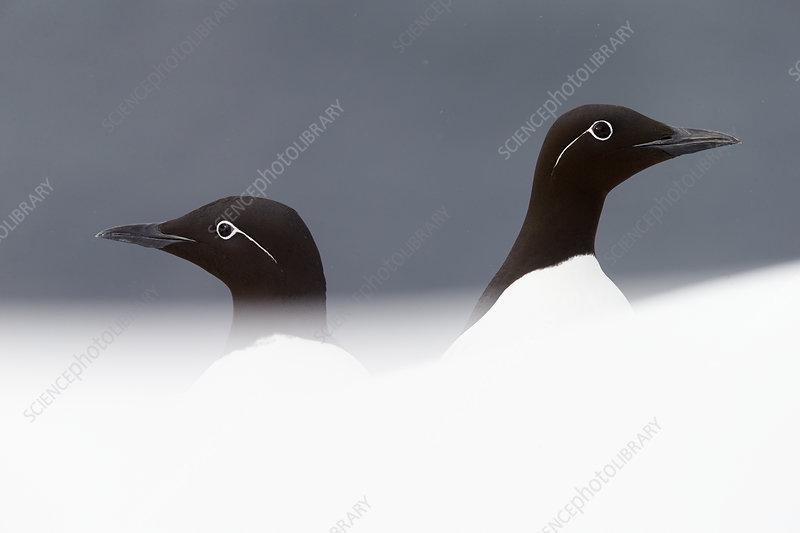 Two Guillemots, Vardo, Norway