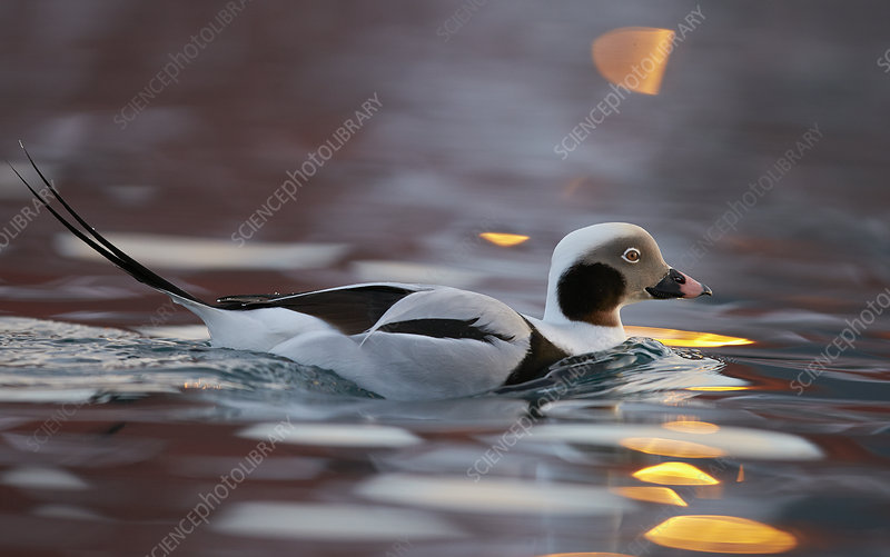Male Long-tailed duck, Batsfjord, Norway