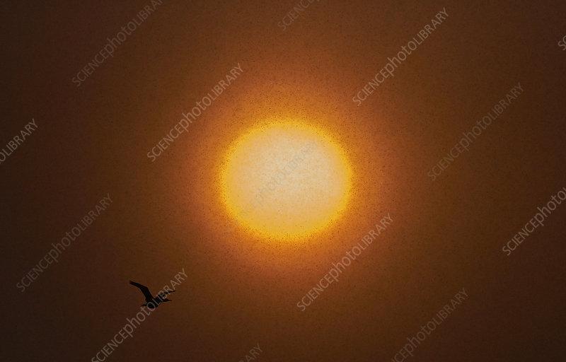 Common shag flying