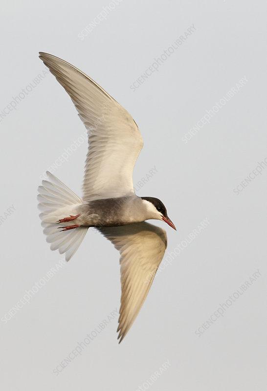 Whiskered tern, Hungary