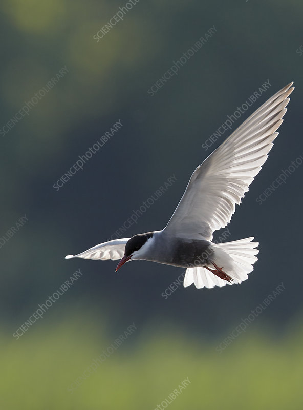 Whiskered tern, Hungary