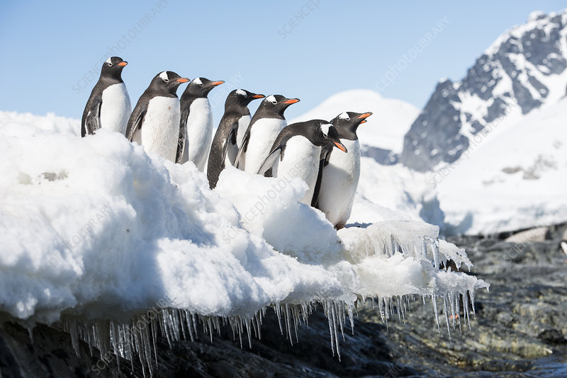 Gentoo Penguin group travelling out to sea