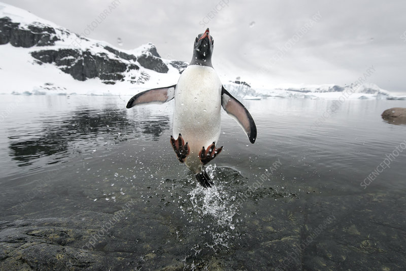 Gentoo Penguin jumping out of the sea