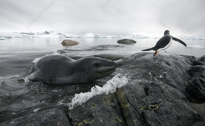 Leopard seal chasing Gentoo Penguin into shore
