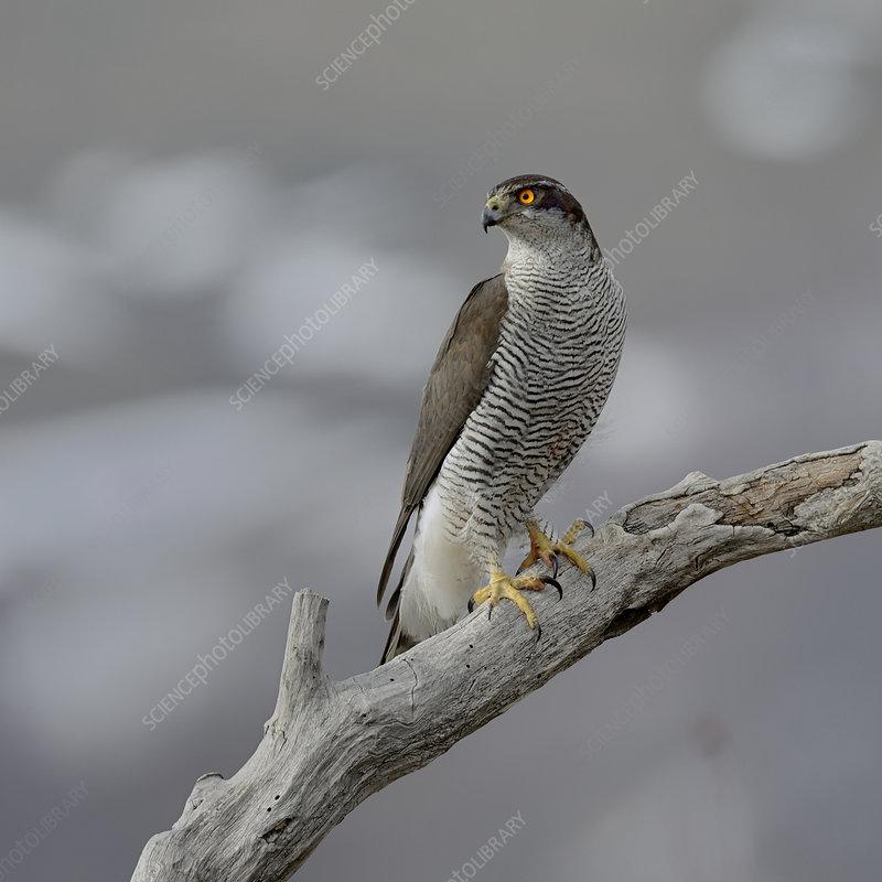 Northern Goshawk on a branch, Bulgaria