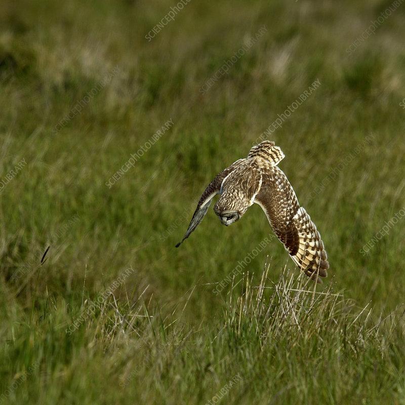 Short-eared Owl diving at prey