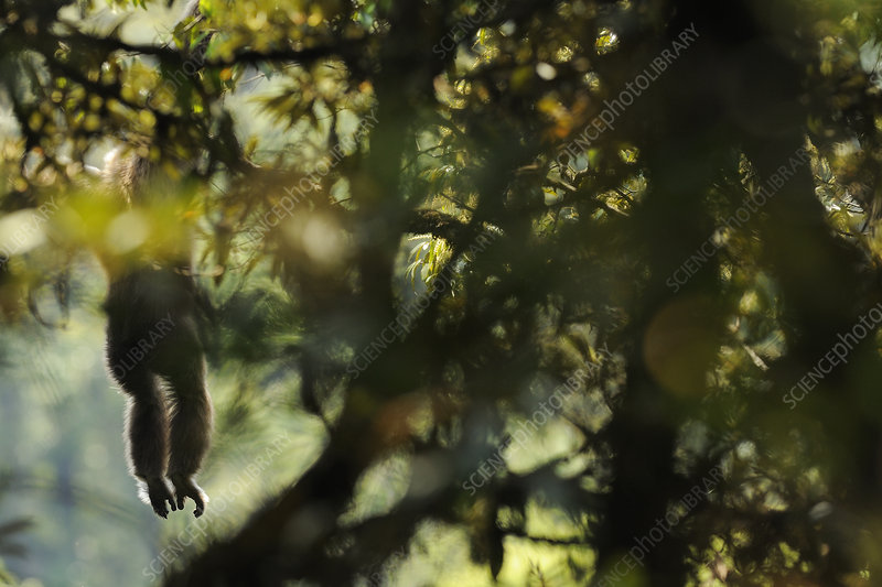 Eastern hoolock gibbon hanging from a branch