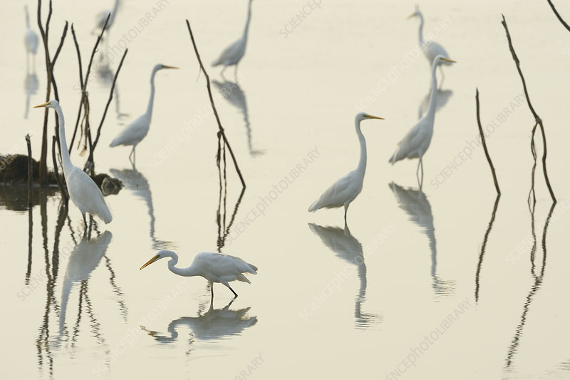 Great white egrets reflected in lake