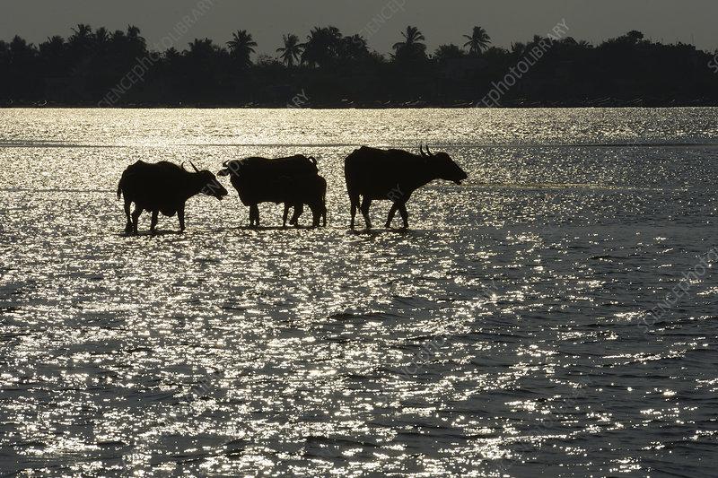 Water buffalo Pulicat Lake, Tamil Nadu, India